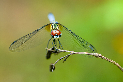 Dragonfly With Big Red Eyes, Florida