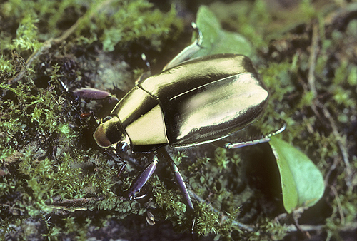 Golden Beetle, Plusiotis resplendens, Rainforest...