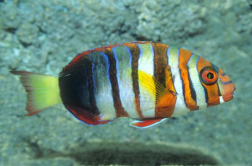 Harlequin Tusk Fish, Indo-Pacific