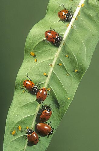 Ladybugs Feeding on Aphids