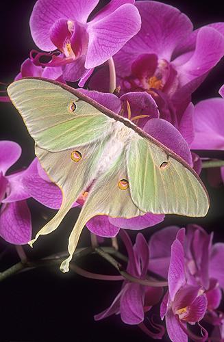 Luna Moth on a Orchid, Florida