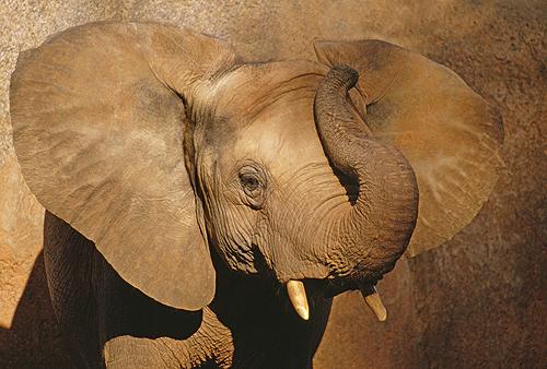 African Elephant, Mzima Springs, Kenya