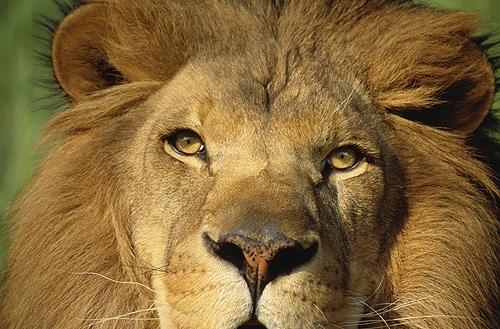 Barbary Lion, Panthefra leo, N. Africa