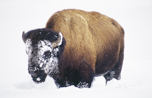 Bison's Face Covered in Snow, Yellowstone...