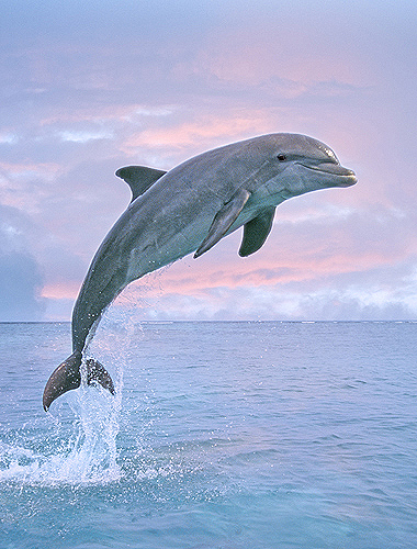 Bottlenose Dolphin Jumping, Pink Sky