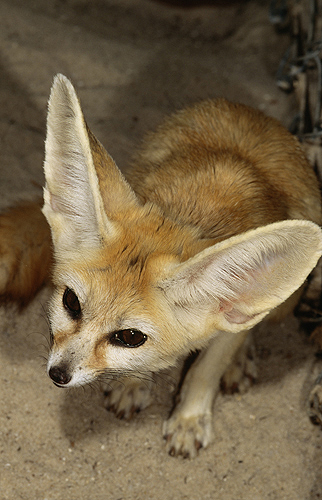 Fennec Fox, Saharan Desert, N. Africa