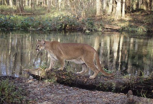 Florida Panther at the River's Edge