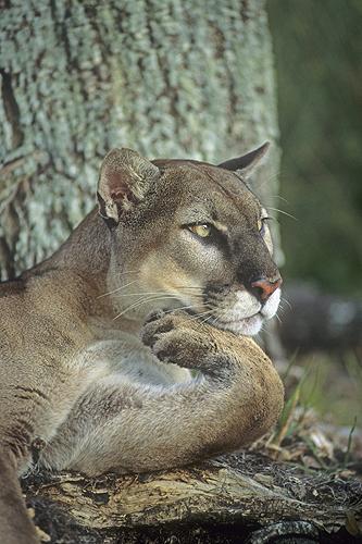 Florida Panther,