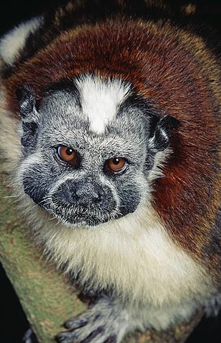 Geoffroy's Tamarin, Panama