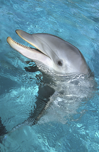Bottlenose Dolphin, Florida