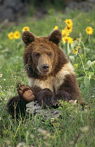 Grizzly Bear Cub, Sitting on a Hillside,...
