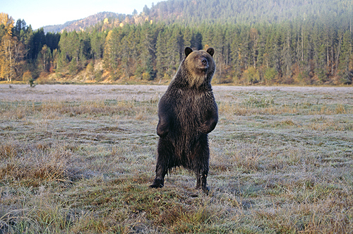 Grizzly Bear Standing, Glacier National Park,...