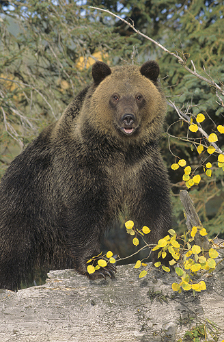 Grizzly in Fall Colors, Montana