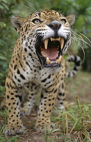 Jaguar Snarling, Belize