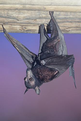 Maylayan Flying Fox Bat, South East Asia
