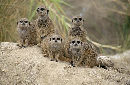 Meercats, Africa