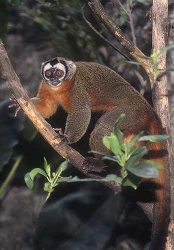 Owl Monkey, Tropical South America