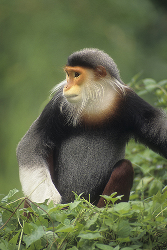 Rare Red-Shanked Douc Langur Monkey, Tropical...