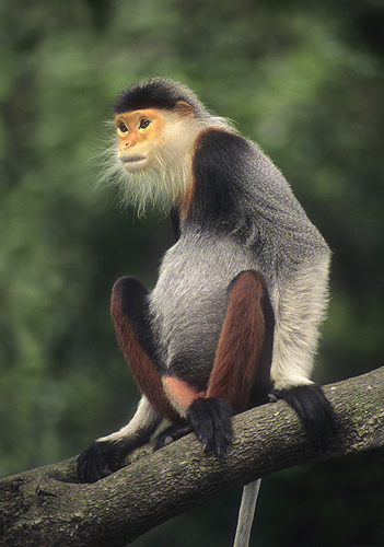 Rare Red-Shanked Douc Langer Monkey, Tropical...