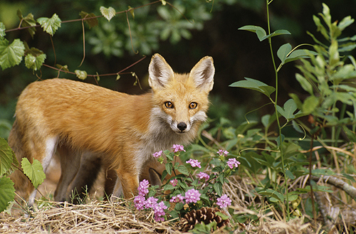 Red Fox, Florida