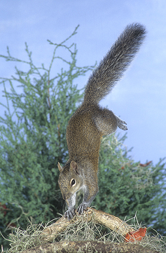 squirrel-jumping-and-landing-on-front-pa