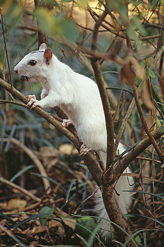 White Squirrel, North Florida