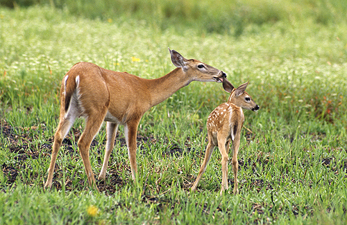 White Tail Deer Doe and Fawn, Florida