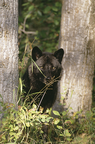 Wolf Peeking From Behind a Tree, Montana