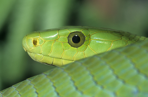 African Green Mamba Showing Face Detail,...
