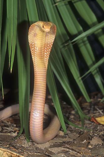Albino Monocled Cobra, Naja naja kaouthia,...