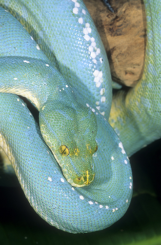 Blue Phase of The Green Tree Python, New...