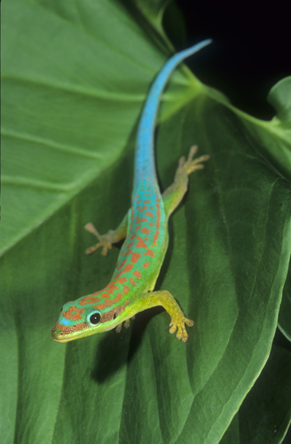 Blue-tailed day gecko - 128.2KB