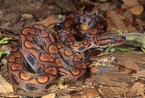 Brazilian Rainbow Boa  Epicrates cenchriaBrazilian Rainbow Snake