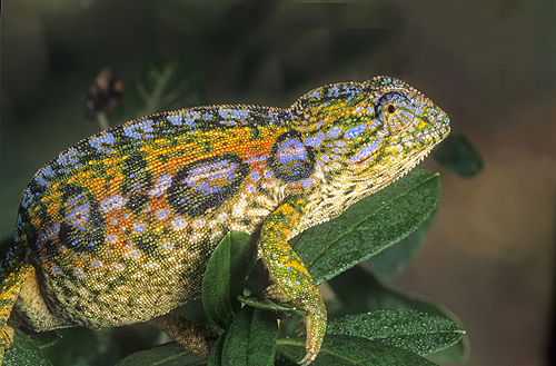 Carpet Chameleon, Madagascar