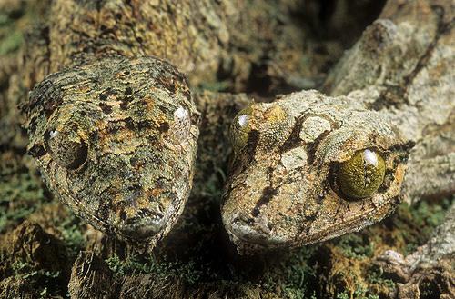 Two Flat Tailed Geckos, Uroplatus sikorae,...