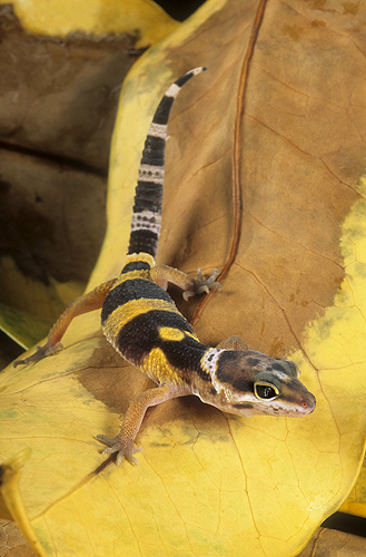 Immature Leopard Gecko, Madagascar