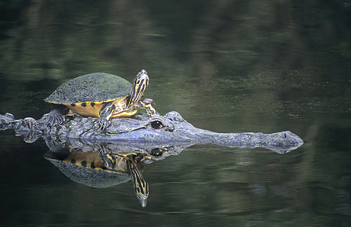 Painted Turtle Hitching a Ride on a Alligator,...
