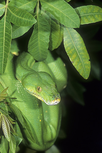 Rare, Green Tree Python, Chondropython, New...