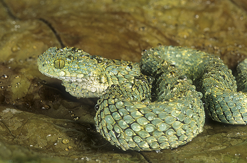 Rough-Scaled Bush Viper, Atheris squamiger,...