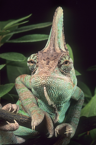 Veiled Chameleon Close-Up of Head Crest,...