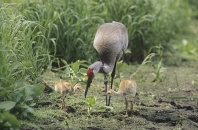 Adult Sandhill Crane With Two Chicks