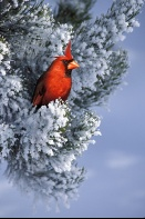 Cardinal on a Snow Covered Pine