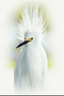 Snowy Egret Head Feathers Blowing in the Wind