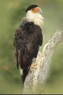 Crested Cara Cara, Florida