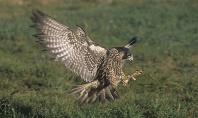 Peregrine Falcon Landing, Canada