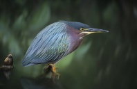 Green Back Heron, Florida