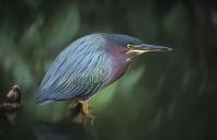 Green Back Heron, Florida