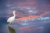 White Ibis, Sunset Reflections in Water, Florida