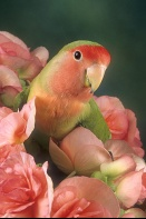 Peach Faced Love Bird