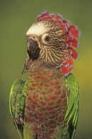 Hawk Headed Parrot Displaying Head Feathers, Venezuela